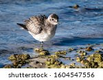 Black Bellied Plover On The...