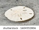 Closeup Of A Sand Dollar On The ...