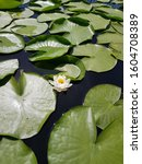 A Small White Water Lily With...