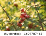 Red Ripe Berries Of Rosa Canin...
