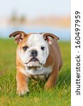 Stock photo english bulldog puppy 160497959