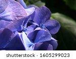 Light Blue Bigleaf Hydrangea Or ...