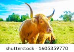 Small photo of Curious bull portrait on pasturage