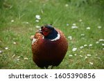 Game Pheasant With His Head...