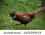 Colorful Pheasant Stepping...