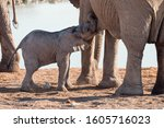 Elephant Calf or Baby Drinking Milk, Sucking from Mother Cow at Okaukuejo Waterhole, Etosha National Park, Namibia, Africa