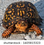 The Eastern Box Turtle  Also...