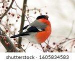 Bullfinch Sitting On A Branch...