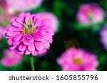 Zinnia Flower With Light Flare...