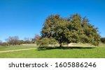 A Well Shaped Live Oak Tree And ...