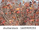 Shrubbery With Red Autumn...