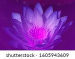 fresh bloom purple lotus flower ... | Shutterstock . vector #1605943609