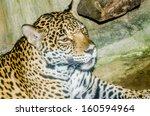 portrait of jaguar  thailand | Shutterstock . vector #160594964