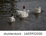 Four White Geese Swimming On A...