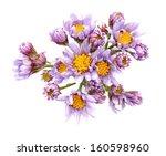 Jindai Tatarian Aster Flowers...