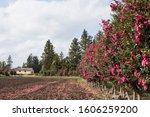 Camellia Flower Tree Road ...