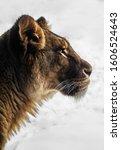 African Lion Loiness Sch Nbrunn ...