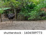 A Very Corious Ostrich Looking...