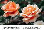 Profile Of Two Peach Roses  ...