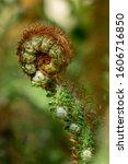 Green New Growth Fiddlehead Fern