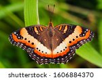 A Marsh Commodore Butterfly ...