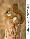 Small photo of North American Red Squirrel standing on a stump eating.