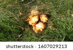 Small photo of Mushroom during the autumn season on the Veluwe forest in Gelderland named Hypholoma fasciculare, commonly known as the sulphur tuft, sulfur tuft or clustered woodlover