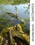 Fallen Dead Moss Covered Tree...