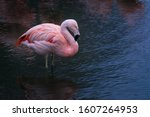 A Chilean Flamingo Standing...