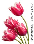 Lovely Tulip Flowers Isolated...