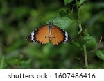 Plain Tiger Butterfly With...