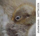 Greylag goose gosling looking sleepy