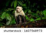 Cebus Imitator Capuchin Monkey...