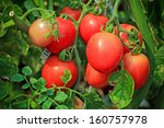 close up of fresh red tomatoes... | Shutterstock . vector #160757978