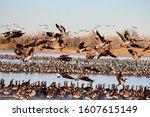 Geese Take Flight From Frozen...
