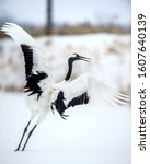 Small photo of Dance of crane. The red-crowned cranes. Scientific name: Grus japonensis, also called the Japanese crane or Manchurian crane, is a large East Asian Crane.