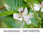 An insect (Apidae) visiting a blackberry flower