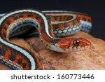 San Francisco Garter Snake / Thamnophis sirtalis tetrataenia