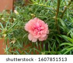 Verdolaga Is A Succulent With...