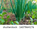 Spring Onions Grown In...