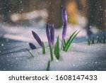 First spring flowers - purple crocus or saffron in snow, amazing strong and power nature. Natural outdoor background, early spring in Europe