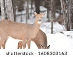 Northern Maine Whitetail Deer...