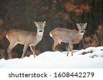 Two Wild Roe Deer  Capreolus...
