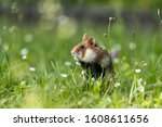 An Adult Field Hamster In A...