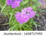 A Closeup Of Purple Rose...