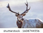Close up of male Tule elk (Cervus canadensis nannodes) wearing a GPS tracker; Point Reyes National Seashore, Pacific Ocean shoreline, California; Tule elk are endemic to California