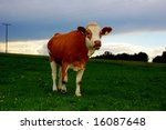 Brown cow on a green meadow - stock photo