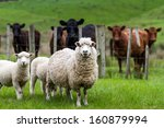 New Zealand Live Stock  Sheep...