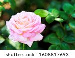 pink rose in the garden ... | Shutterstock . vector #1608817693