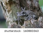 A Gray Tree Frog  Hyla...